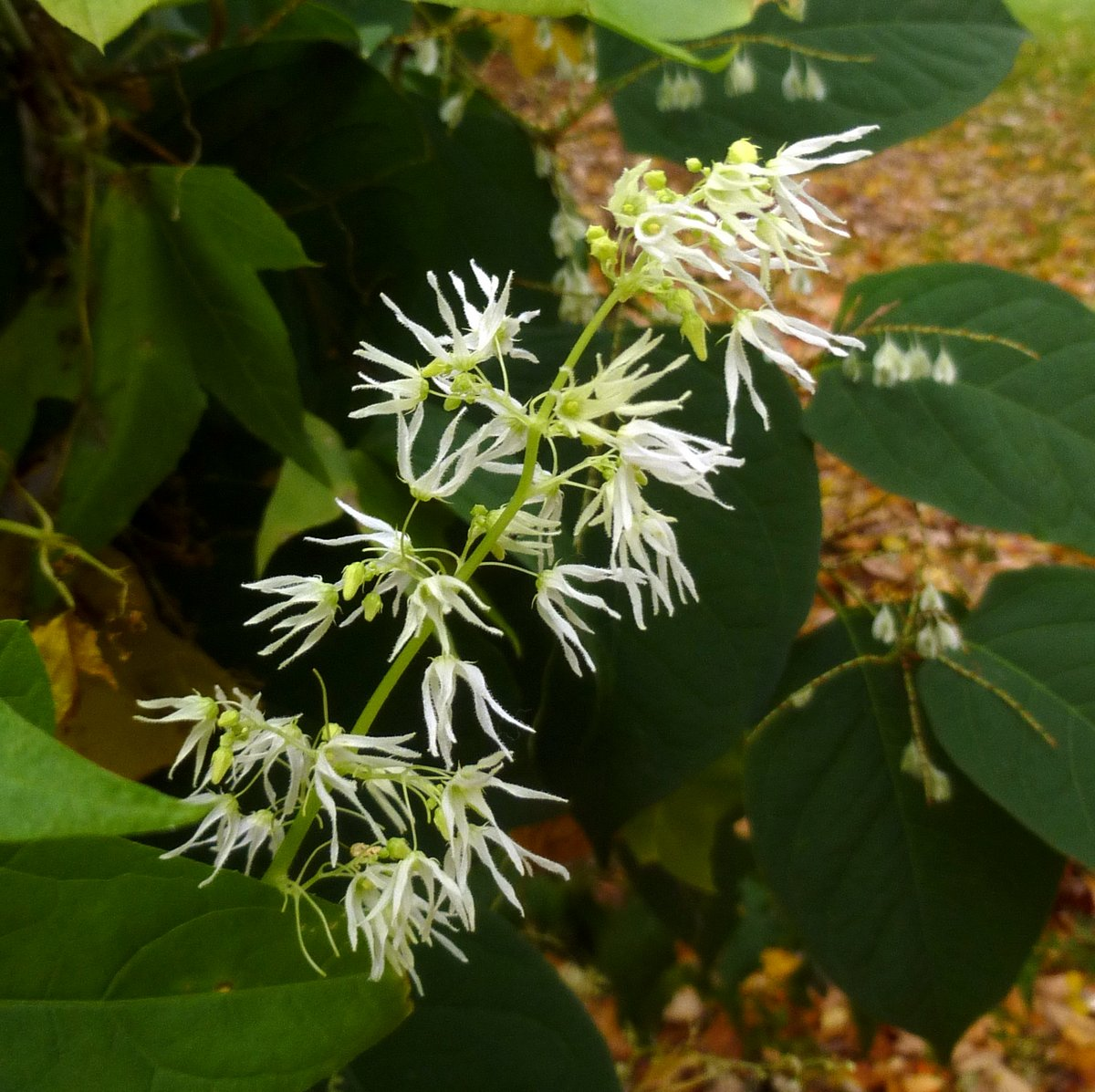 8. Wild Cucumber Blossoms