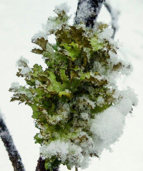 9. Snowy Lichen
