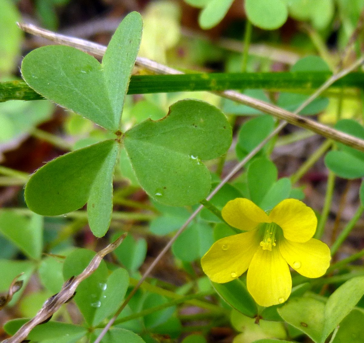 9. Yellow Sorrel