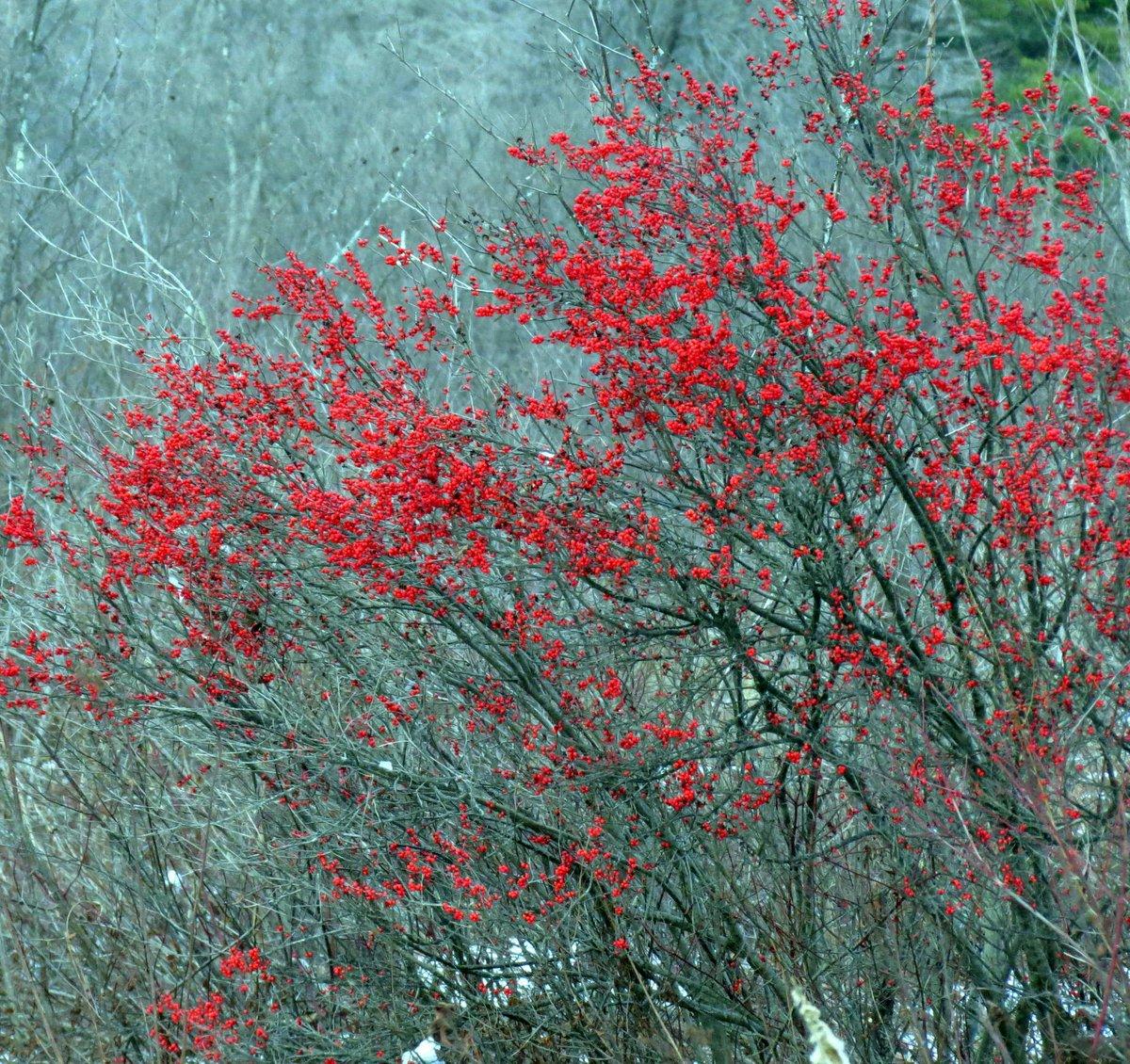 1. Winterberries