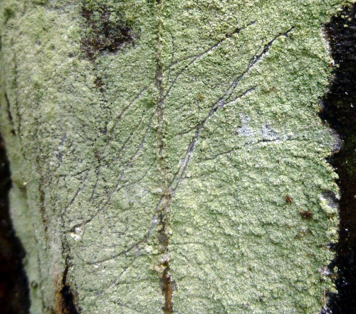 11. Whitewash Lichen