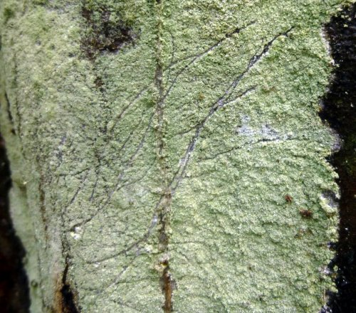11. Whitewash Lichen
