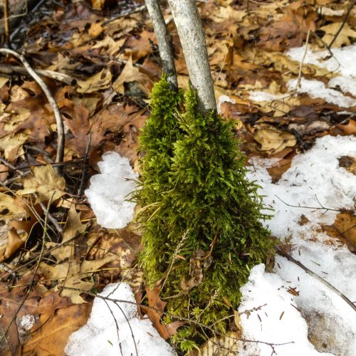 12. Tree Skirt Moss aka Anomodon attenuatus