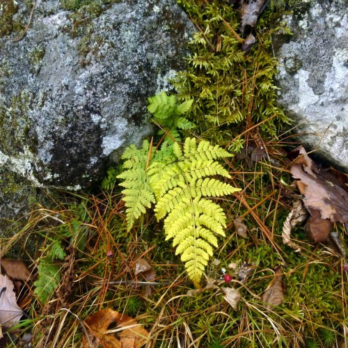 13. Marginal Wood Fern