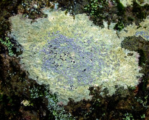 13. Smokey Eye Boulder Lichen
