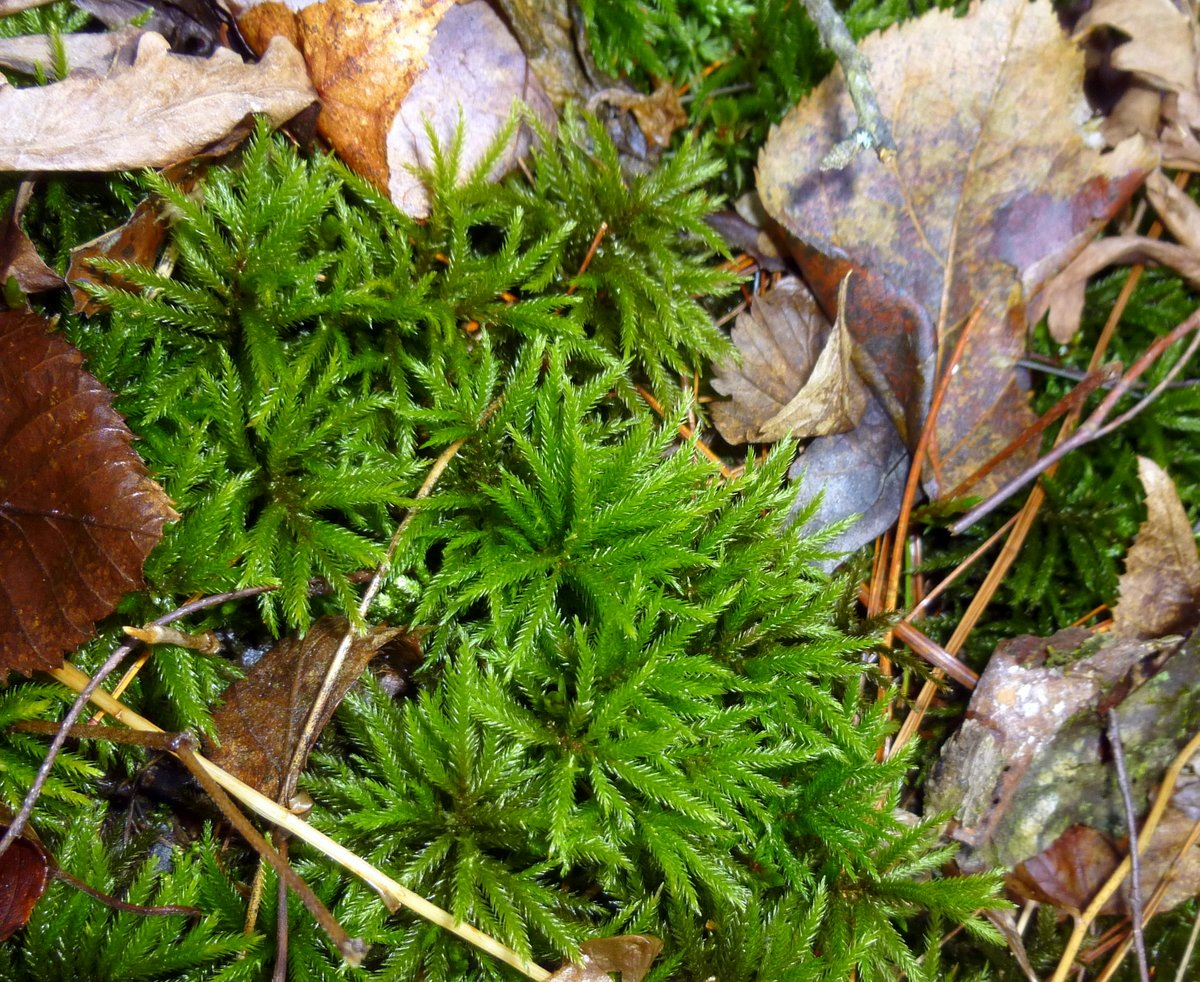 14. Tree Moss aka Climacium dendroides 2