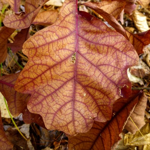 15. Swamp Wite Oak Leaf-aka Quercus bicolor