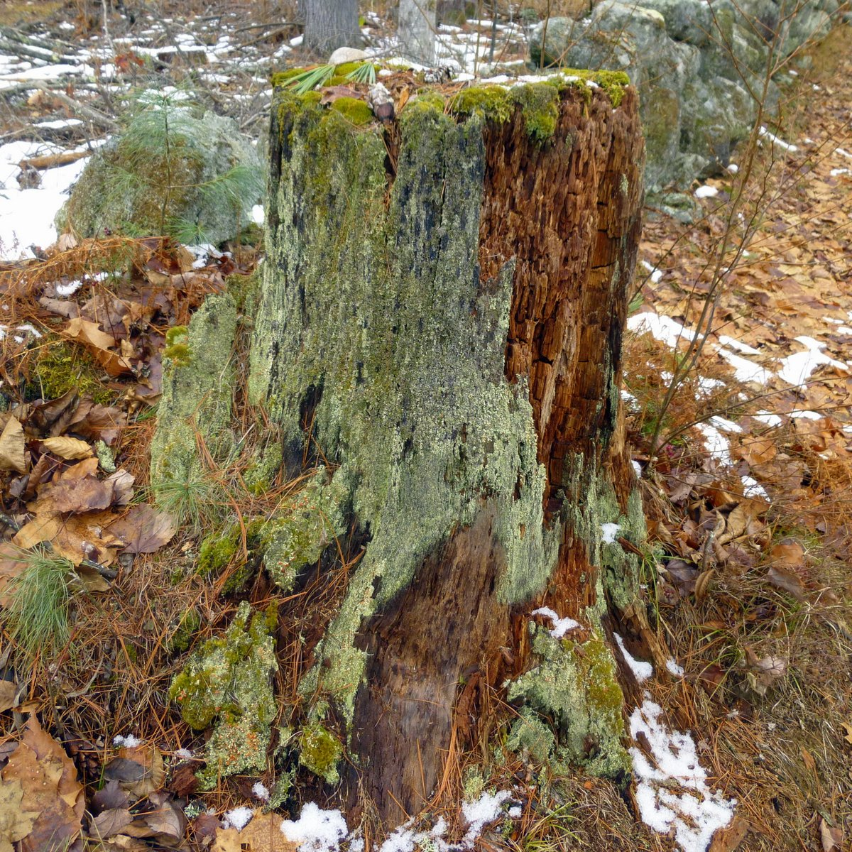 15. White Pine Stump