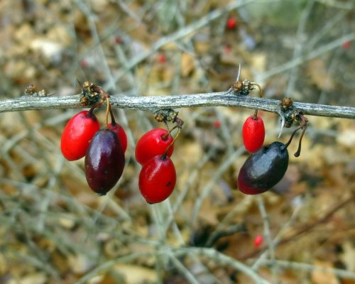 2. Barberry Berries