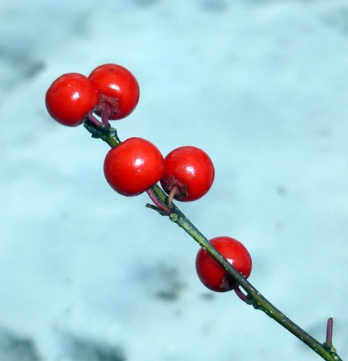 2. Winterberries