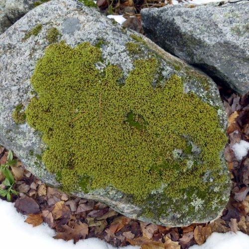 4. Hedwigia ciliata  Moss on Stone