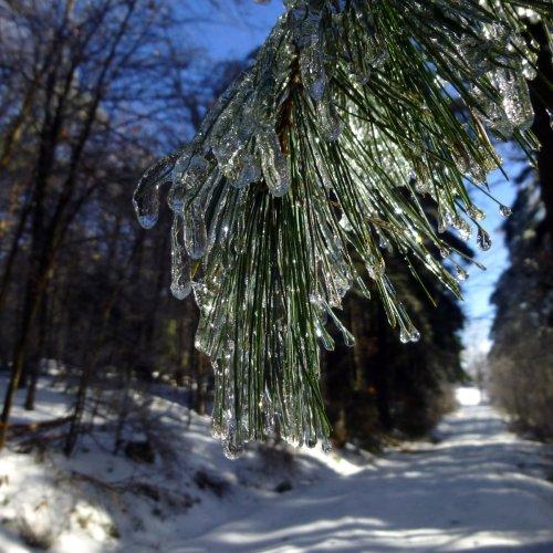 4. Ice Covered Pine Needles