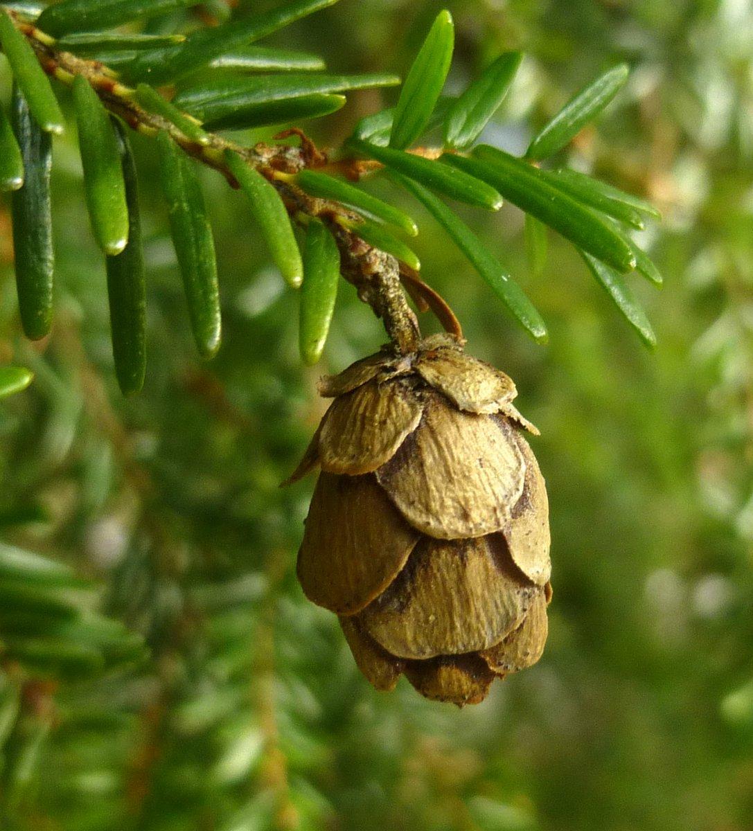 5. Hemlock Cone