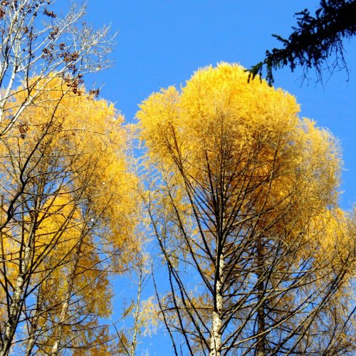 5. Larches