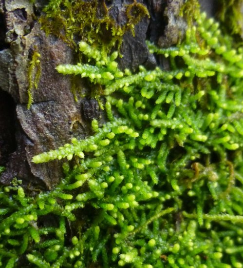 5. Tree Apron Moss  Closeup
