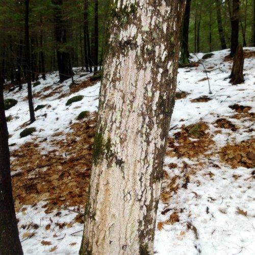 5. Whitewash Lichen