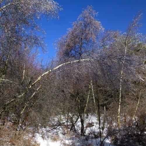 6. Birches