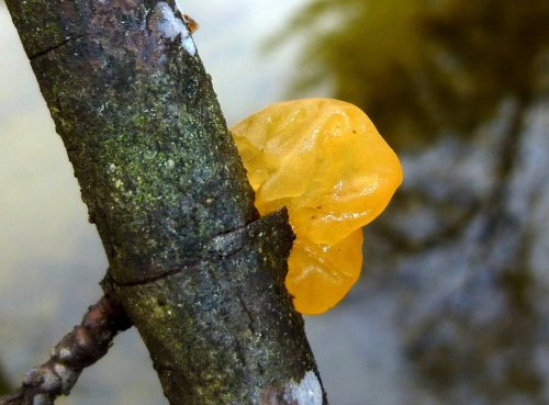 6. Jelly Fungus