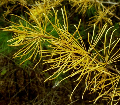 6. Larch Needles