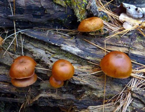 7. Deadly Galerina Mushrooms on a Log