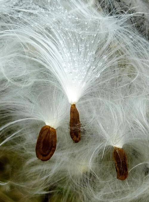 7. Milkweed Seeds