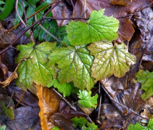 9. Foamflower Foliage
