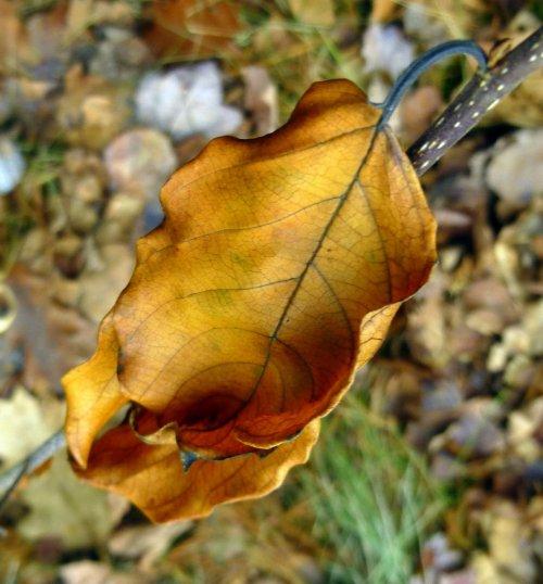 1. Glossy Buckthorn Leaf