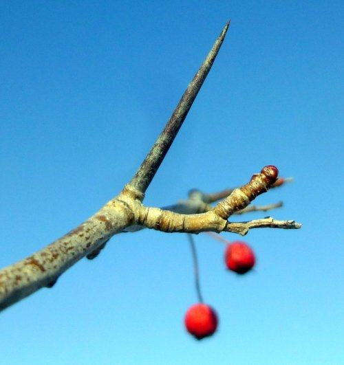 10. Hawthorn Thorn