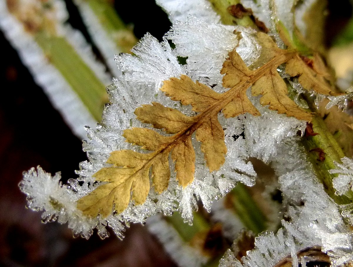 11. Frosted Fern Leaf
