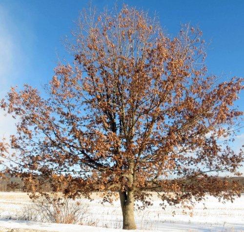 11. Oak Tree