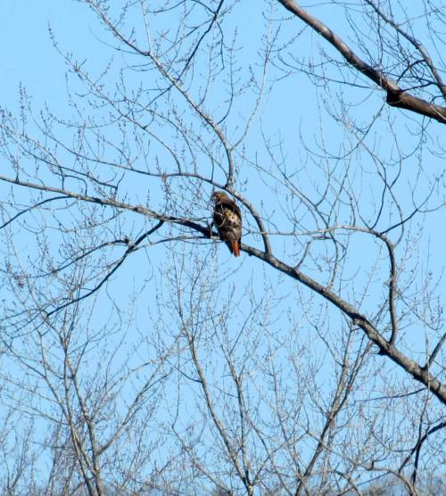 11. Red Tailed hawk