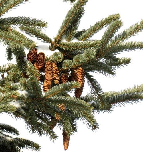 11.Spruce