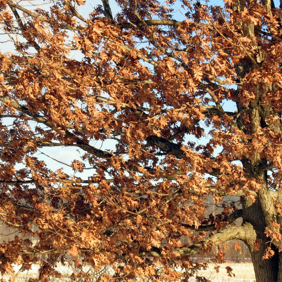 12. Oak Leaves