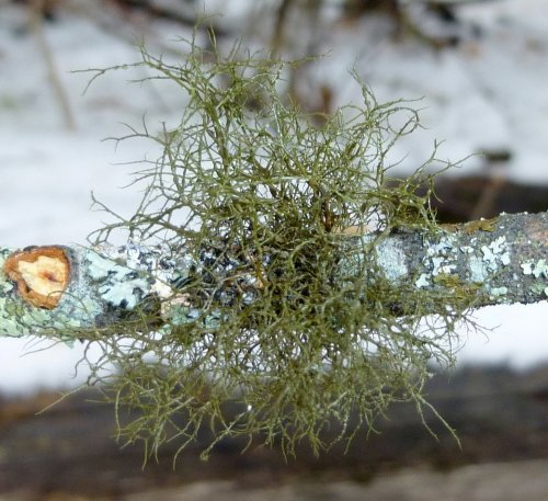 13. Dark Green Lichen