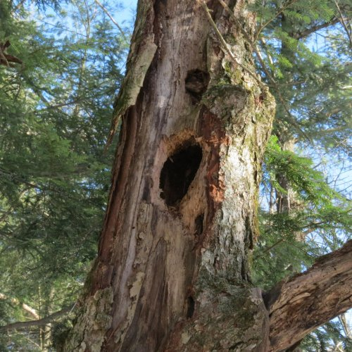 14. Pileated Woodpecker Hole
