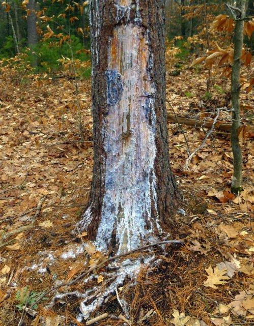 14. Pine sap