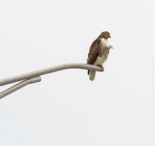 15. Hawk