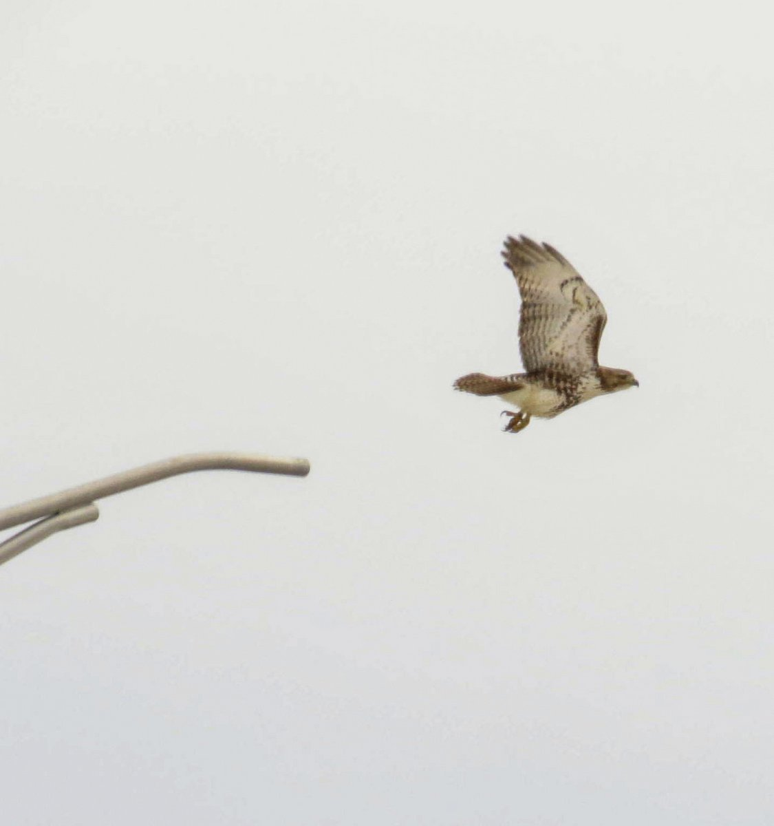 16. Hawk