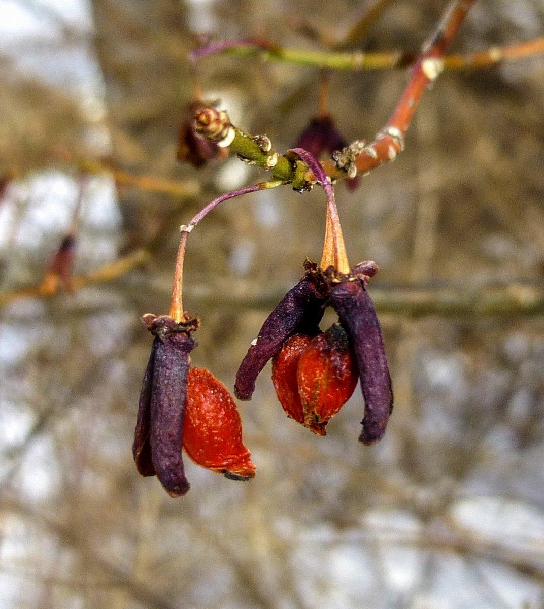 3. Burning Bush Berries