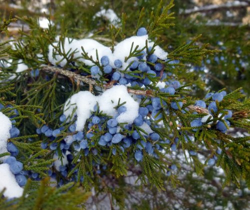 3. Juniper Berries