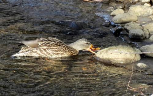 5. Mallard Pecking a Stone