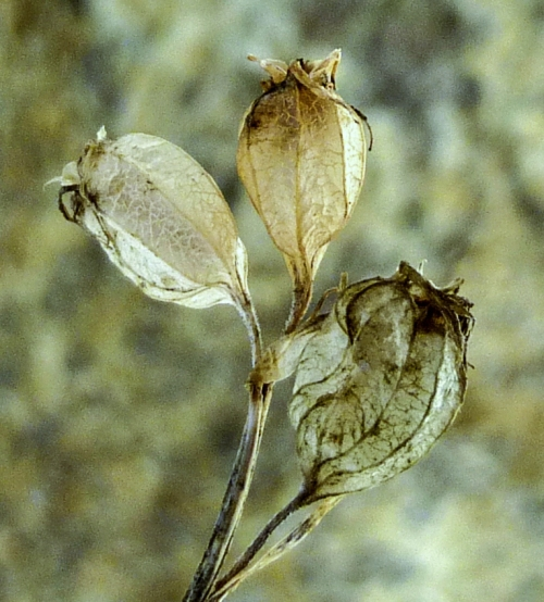 6. Indian Tobacco Seed Heads