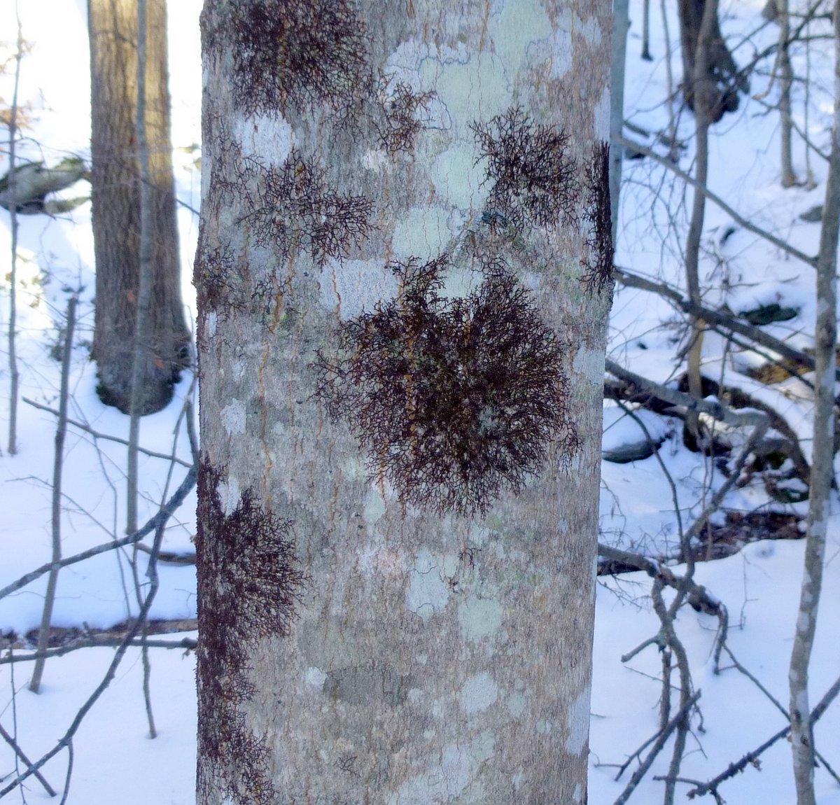 6. Liverwort on Maple