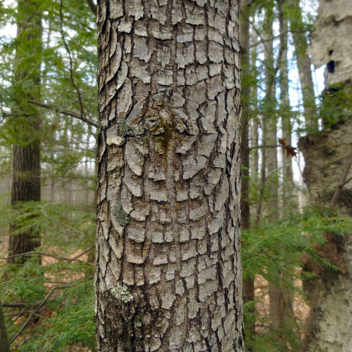 Red Maple Bark Patterns New Hampshire Garden Solutions