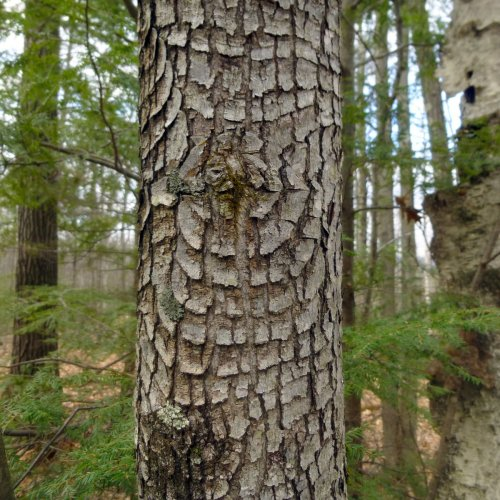 8. Bark Patterns on Red Maple
