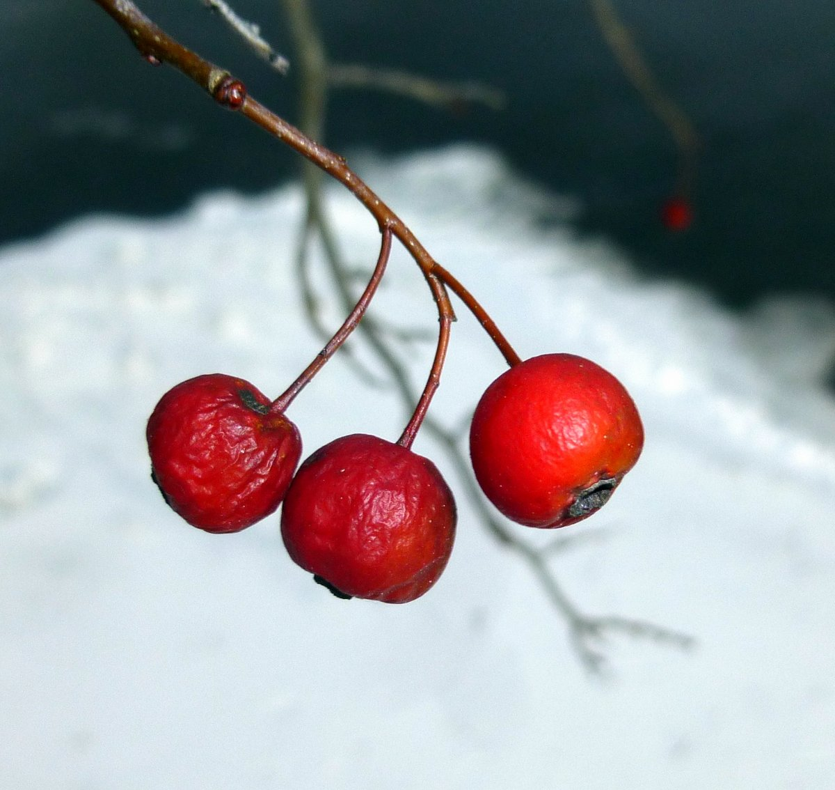 9. Hawthorn Fruit