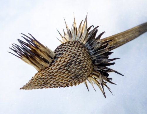 1. Cone Flower Seed Head