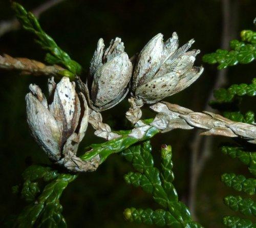 10. Cedar Seed Pods