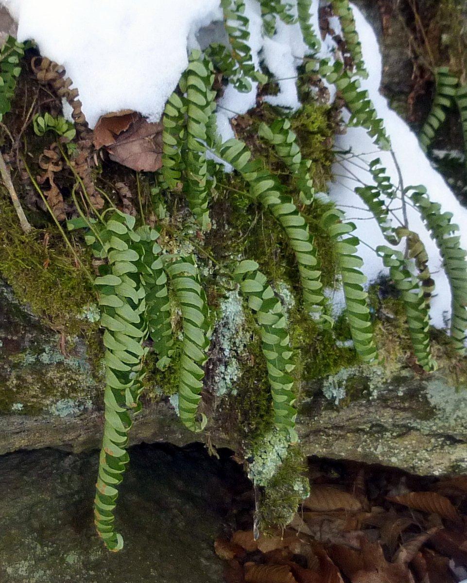 10. Polypody Ferns