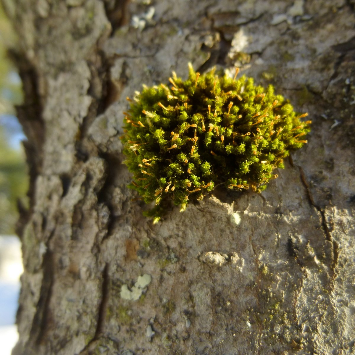 11. Moss on Maple